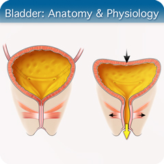 Online Ultrasound Course for Bladder: Anatomy & Physiology Module