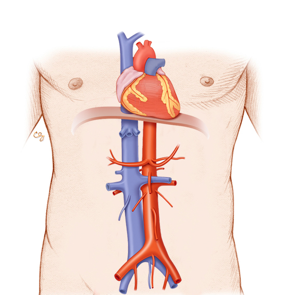 Aorta / IVC: Modulo Anatomia e Fisiologia
