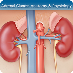 Online Ultrasound Course for Adrenal Glands: Anatomy & Physiology Module