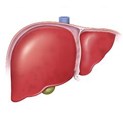 Fegato: modulo Anatomia e Fisiologia