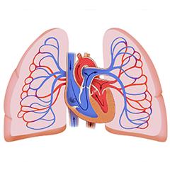 Polmoni: modulo Anatomia e Fisiologia