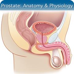 Corso di ecografia online per la prostata: modulo di anatomia e fisiologia