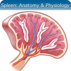 Онлайн-курс ультразвукового исследования селезенки: модуль анатомии и физиологии