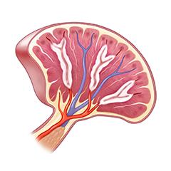 Milza: modulo anatomia e fisiologia