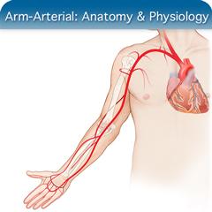 Онлайн-курс ультразвукового исследования для рук и артерий: модуль анатомии и физиологии