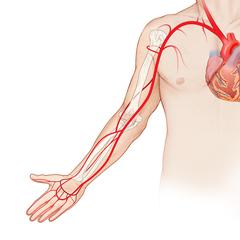Braccio-arterioso: modulo Anatomia e Fisiologia