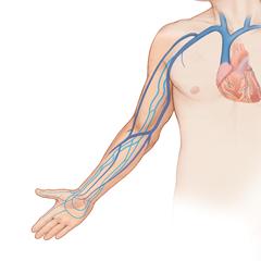 Arm-Venous: модуль анатомии и физиологии