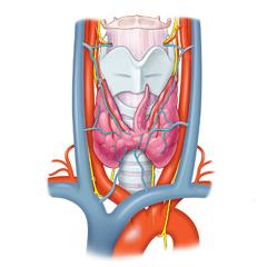 Tiroide: modulo Anatomia e Fisiologia