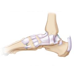Caviglia: modulo Anatomia e Fisiologia
