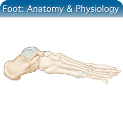 Online Ultrasound Course for Foot: Anatomy & Physiology Module