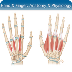 Online Ultrasound Course for Hand & Finger: Anatomy & Physiology Module