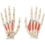 Курс УЗИ рук и пальцев