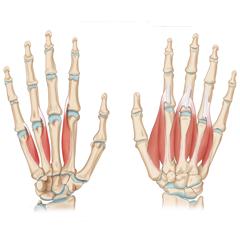 Mano e dito: modulo anatomia e fisiologia