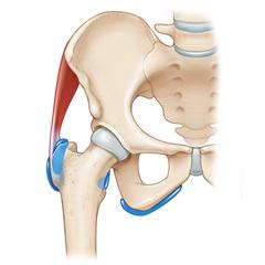 Anca: modulo Anatomia e Fisiologia