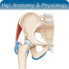 Онлайн-курс ультразвукового исследования тазобедренного сустава: модуль анатомии и физиологии