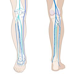 Leg-Venous: модуль анатомии и физиологии