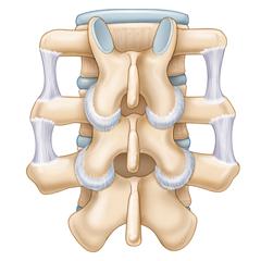 Colonna vertebrale: modulo anatomia e fisiologia