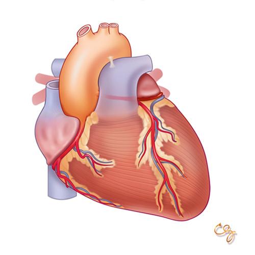 Cuore: modulo Anatomia e Fisiologia